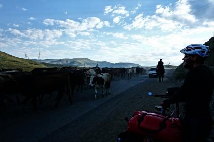 Dieses Schauspiel erleben wir jetzt fast täglich, wenn die Bauern ihre Kühe auf die Weide treiben.